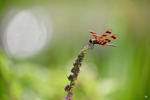 Dragonfly by John Meader