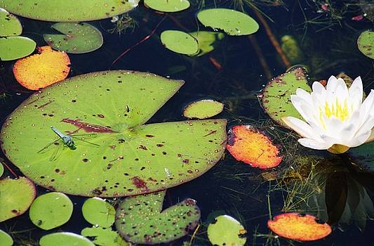 Dragonfly on a Lily Pad by May Photography