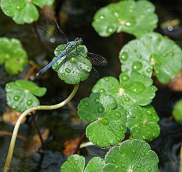 Dragonfly on lilypad ivy by Ronda Ryan