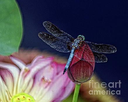 Dragonfly on Lotus Flower by Anna Sheradon
