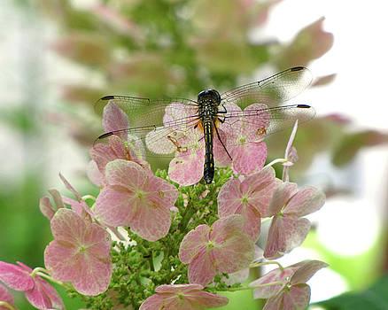 Peg Urban - Dragonfly on Oakleaf Hydrangea