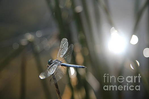 Dragonfly on reed by Anthony Jones