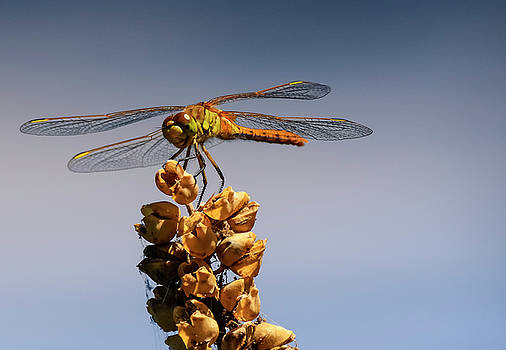 Dragonfly Ready for Take-off by Craig Sanders