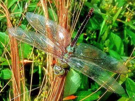 Dragonfly by Terry Burgess