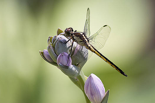 Dragonfly by Tom McElvy