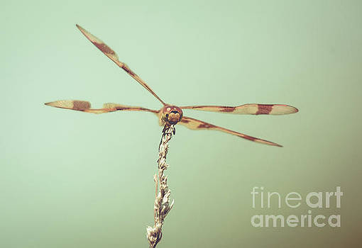 Dragonfly Wings by Cheryl Baxter