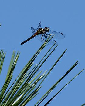 Dragonfly3 by Tali Stone