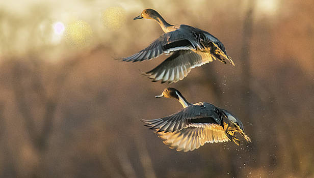 Drake and Hen Pintail  by Kelly Marquardt