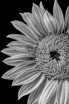 Dramatic Sunflower by Garry Gay