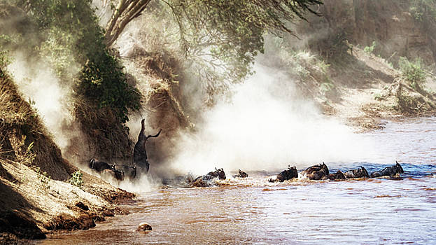 Susan Schmitz - Dramatic Wildebeest Migration River Crossing