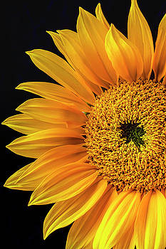 Dramatic Yellow Sunflower by Garry Gay