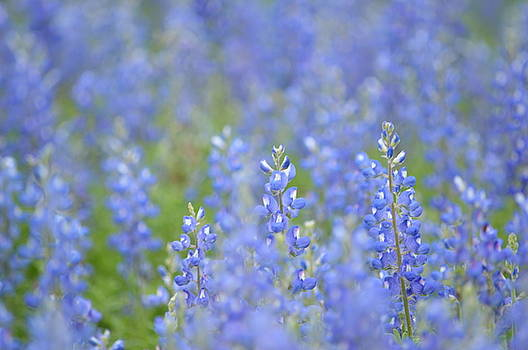 Dreaming Bluebonnets 1 by Carolina Liechtenstein