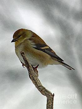 Cindy Treger - Dreaming of Spring - American Goldfinch
