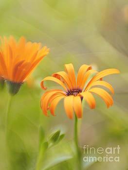 Dreams Of Orange Symphony In Spring 2 by Dorothy Lee