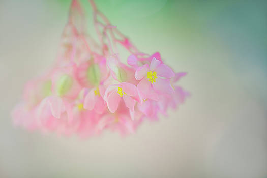 Dreamy Angel Wing  Begonia by Susan Gary