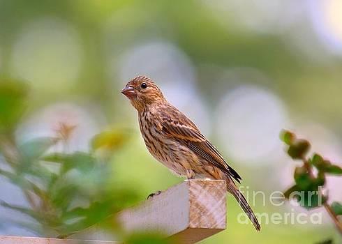 Dreamy Finch by Lisa L Silva