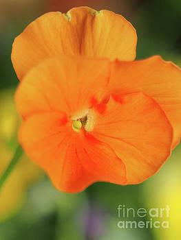 Dreamy Orange Viola by Dorothy Lee