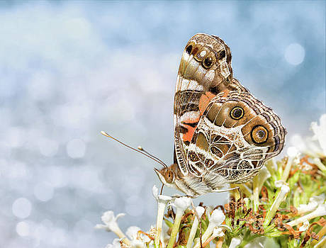 Dreamy Painted Lady by Sari ONeal