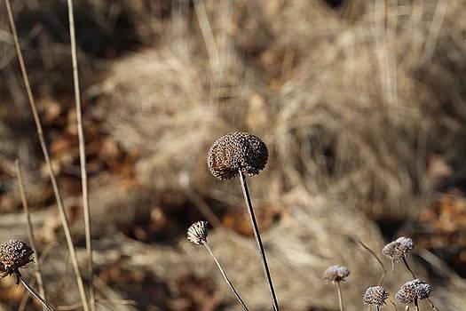 Dried Flower Head by David Hand