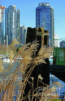 Dried Grass in Vancouver by Randy Harris