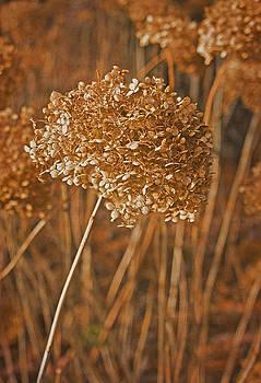 Valerie Fuqua - Dried Hydrangeas