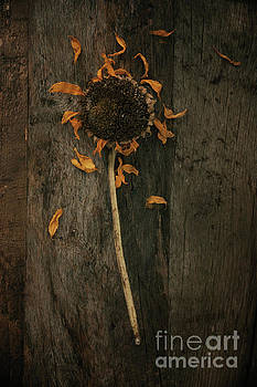 Dried sunflower by Mythja Photography