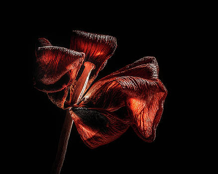 Dried Tulip Blossom by Scott Norris