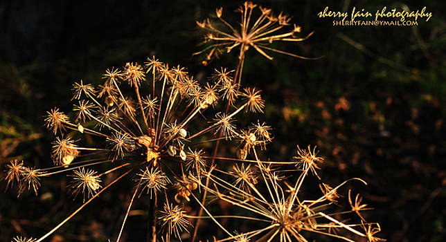 Dried Weed Flower by Sherry Fain