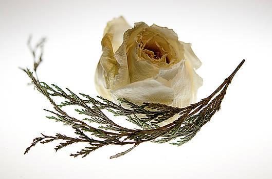 Lois Bryan - Dried White Rose