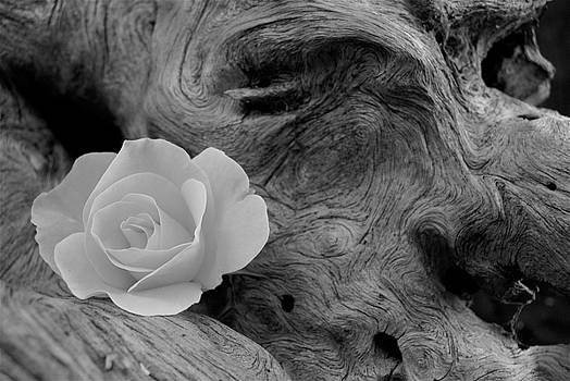 Michael Peychich - Driftwood and Roses