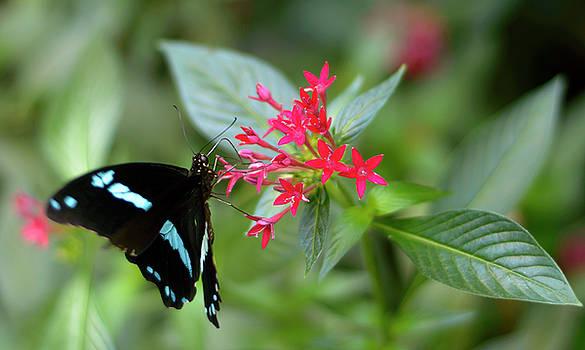 Drinking Butterfly by Alexander Mandelstam