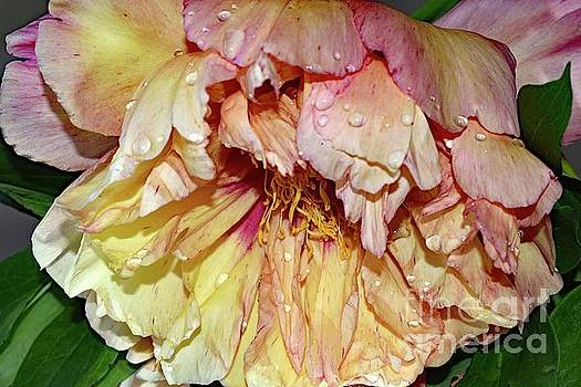 Cindy Treger - Dripping With Beauty - Itoh Peony