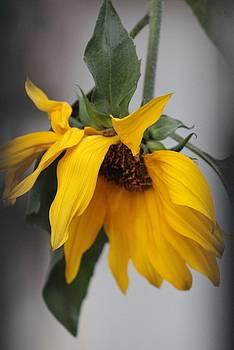 Karin Kohlmeier - Drooping Sunflower