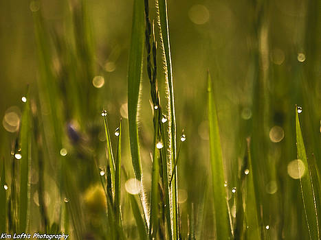 Drops of Dew  by Kim Loftis