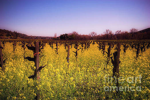 Dry Creek Mustard Flowers Sonoma County by Blake Webster