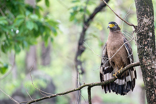 A Crested Serpent Eagle Drying its Wings by Fotosas Photography