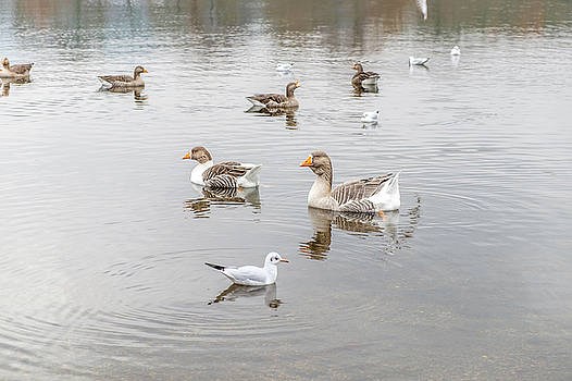 Duck and Geese by David Ridley