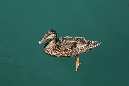 Duck floats by Davor Zerjav