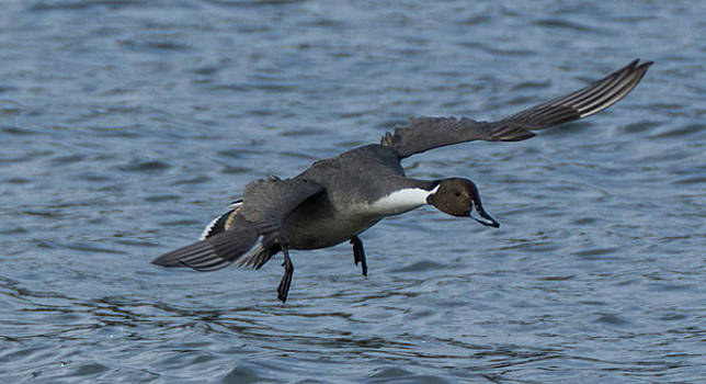 Northern Pintail Duck in Flight by Marilyn Wilson