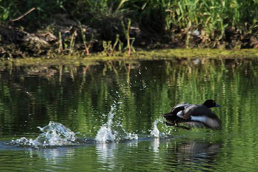 Duck In Take Off by Jeff Swan
