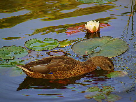 Duck in the Pond by Carrie Putz