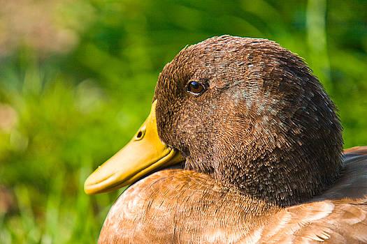 Duck by John Holloway