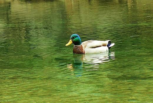Duck by Julie Lourenco