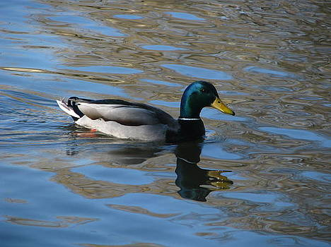 Duck Mallard Duck by Hasani Blue
