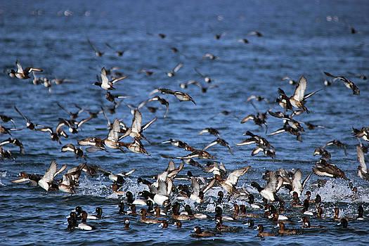 Duck Migration - Sandy Hook, NJ by Jake Danishevsky