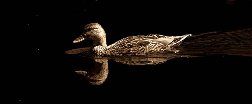 Duck on Black by Sherman Perry