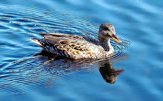 Duck Reflection by William Bosley