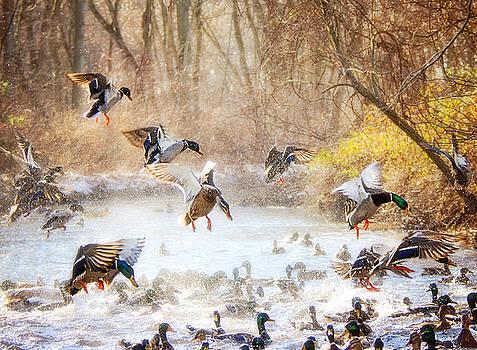 Duck Ruckus at Massapequa Preserve by Vicki Jauron