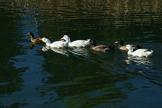 Duck swimming. by Robert Rodda