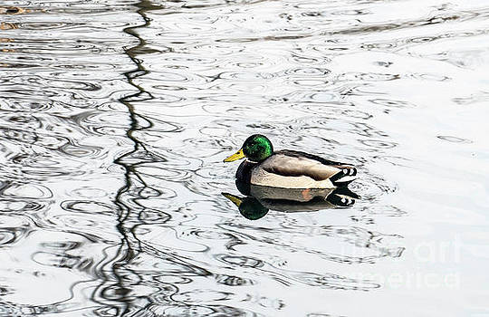 Duck swims on the river by Odon Czintos